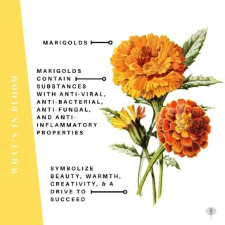 While dahlias are the showy stars of this early fall show, it's the unsung yet sunny #marigold in a supporting role that's deserving of rave reviews in our playbook.   PS. Their fragrance on the other hand, not their best virtue... 😣   PPS. We heard they like to play in bed with tomatoes. 🍅 😂   Some marvy, locally grown marigolds across the USA from left to right: 👈   🧡 @flowers_by_karis   Oceanside, CA 🧡 @willarosefloral   Detroit, MI 🧡 @bar_fiore_flowercity   Rochester, NY & beyond 🧡 @superflowers47   Shelter Island, NY  🧡 @inbloomflowerfarm   Georgetown, KY  The Flowry connects flower lovers with eco-conscious florists prioritizing American grown, seasonal flowers & sustainable design practices. Visit The Bloomlist (link in bio) 👆🏻 for your next floral gifting occasions.  #whatsbloomingnow #seasonalflowers #sustainabledesign #floraldesign #nofloralfoam #onthebloomlist #americangrown #californiaflowers #detroitweddings #rochesterflorist #shelterislandny #kentuckyflowers #farmtovase #flowers #localflowers #weddingflowers #flowerstagram #flowering #floralstories #underthefloralspell #slowfloralstyle #slowliving #pursuepretty #ihavethisthingwithflowers #afloweraday #seasonalfloweralliance #econscious #sustainability #theflowry