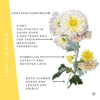 """What's blooming Wednesday?   M U M S. But you knew that, right?   They can be polarizing & an acquired taste. What you may not know is:  🧡 Chrysanthemums are derived from the Greek words, """"chrysos"""" meaning """"gold"""" & """"anthemom"""" meaning """"flower, or """"Golden Flower.""""  🧡 They bloom from late spring through late fall. 👏   🧡 They are both edible (with a similar flavor to chamomile) & help manage pests.  🧡 There are many heirloom varieties ranging from fluffy whites to delicate peachy-pinks to bold reds & apricots--making them great for bridal bouqs & centerpieces.  Here's a roundup of some yummy mumsy's blooming now from left to right, across the USA, east to west, north to south - or something like that. On #TheBloomlist.  🌼 Footballer from @bloomtuesday   San Francisco, CA  🌼 """"Fancy"""" mums by @easternriverfarm via @floristsbuyinglocalflowers @locolcolorflowers one of the best resources for connecting florists to local farmers   Baltimore, MD  🌼 """"Mums the word"""" from @petalandtwigfloral   Detroit, MI  🌼 Seaton J'Dore & friends from @enduringblooms   Nashville, TN  The Flowry connects #sustainability-minded consumers with #eco-conscious florists prioritizing American grown, seasonal flowers & sustainable design practices. Visit The Bloomlist (link in bio) 👆 for your next flower giving occasion.  Interested in joining The Bloomlist? 💐 We are now accepting applications. There is a brief vetting process & you may #PWYW (pay what you want) thru 12/31/21. A portion of proceeds from ALL paid listings will be donated to organizations working toward #environmental preservation & social justice.   #fallflowers #fallfoliage #mumseason #chrysanthemum #inseasonnow #californiagrown #nashvillegrown #baltimoreflorist #detroitflorist #seasonalflowers #sustainabledesign  #floraldesign #bridalinspo #paletteoverpetal #nofloralfoam #farmtovase #flowers #localflowers #flowering  #afloweraday #floralstories #slowfloralstyle #slowliving #econscious #sustainability"""