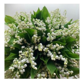 This lily of the valley from @fleurishseattle makes our heart happy. And since it generally makes its appearance in mid-to-late spring, we thought it only fitting to say hello… 👋  before we officially say goodbye in a few short weeks. ✌️   Here's what we learned about lily of the valley *source: @gardendesignmag   🌱  This intoxicatingly fragrant plant and harbinger of spring is in fact a resilient flowering ground cover  🌱  Loves shade, prefers cooler weather  🌱  Part of the asparagus (Asparagaceae) family  🌱 In Europe, named for May, and in fact, inspired the famous boat on which the Pilgrims set sail in route to America (we won't hold it against the flower) 🌱 Apparently a favorite bloom of royal brides, including Queen Victoria, Princess Astrid of Sweden, Grace Kelly, and Kate Middleton  🌱 Iconic British rock band Queen even has a song named after lily of the valley.  As for @fleurishseattle, we are smitten 🤩 with the work of this flower-loving couple, whose reverence for not just the blooms, but each other, is evident in their bespoke bouquets, wedding and event designs.💘 Operating from a small studio and without a cooler (translation: the blooms are super fresh!), what they don't find locally daily at the flower market and from local growers, they supplement with seasonal foliage grown in their own evolving garden. ✨  Discover the florists prioritizing locally grown, seasonal flowers and sustainable business practices, and learn what's blooming now where you live, work and play, on The Bloomlist. Link in bio 💐 👆🏻  #onthebloomlist #lilyofthevalley #fleurishseattle #seattleflorist #washingtongrownflowers #springflowers #flowersinseason #seasonalstems #whatsbloomingnow #floweringeveryday #flowersforeveryoccasion #flowerdelivery #loveflowers #floralfix #underthefloralspell #gardentovase #farmtotable  #bloombeam #theflowry